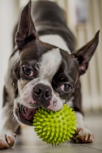 Boston terrier playing with her rubber ball